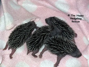 Hoglets 11 days low res