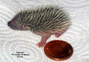 hoglet low res day old